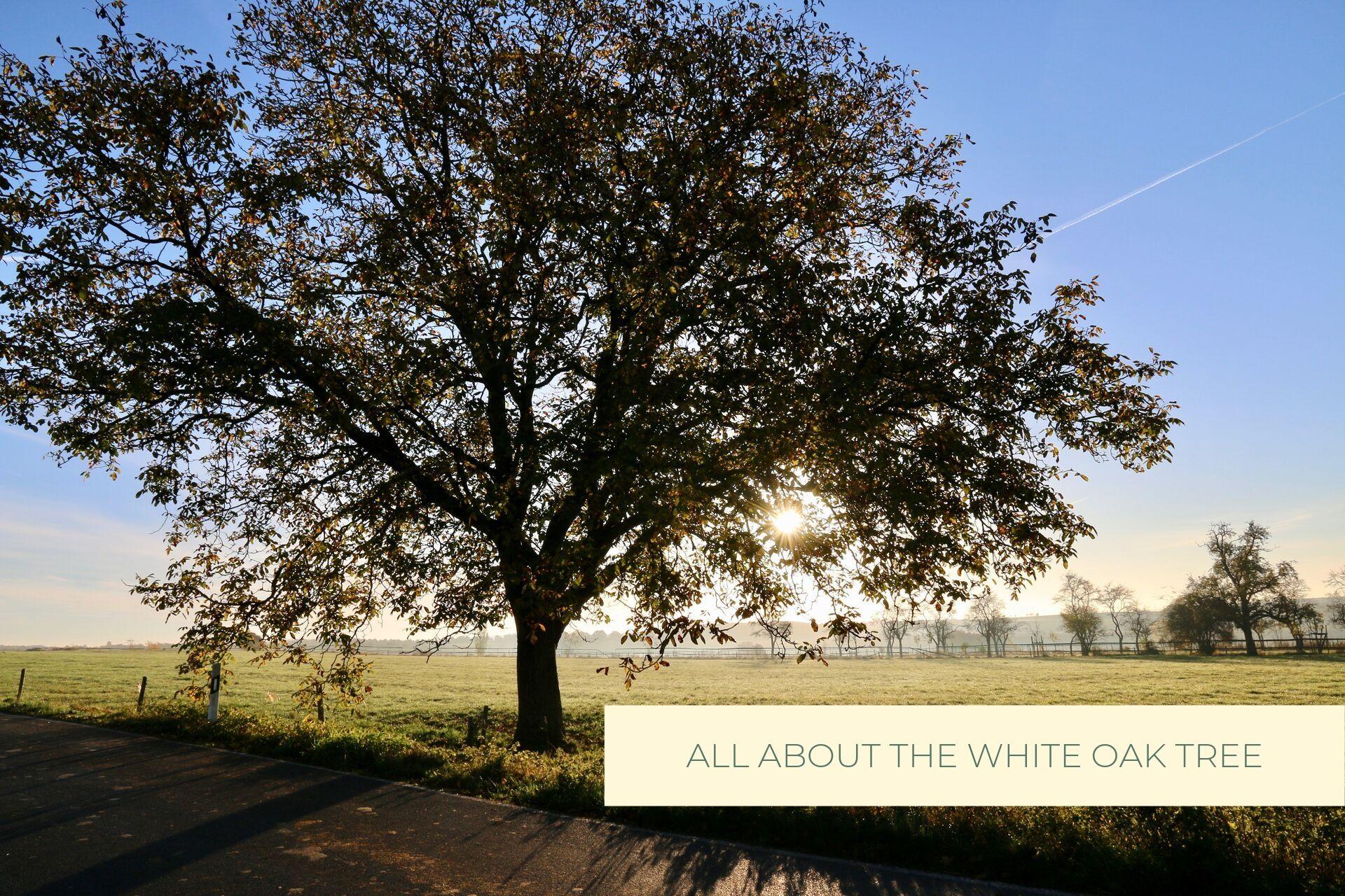 Castle Bespoke_ All about the white oak tree