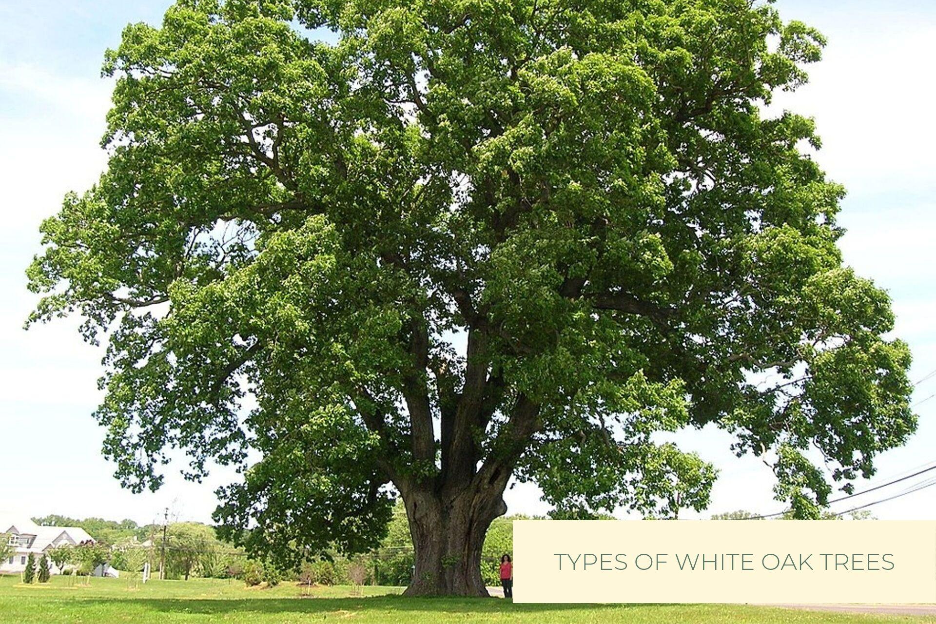 Castle Bespoke_ Types of White Oak Trees-1